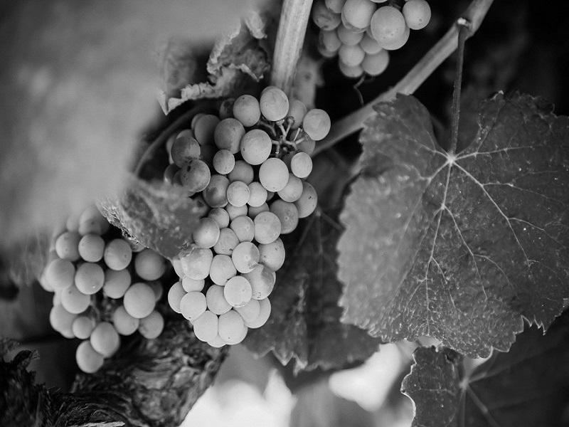 azienda-agricola-san-ruggiero-grapes
